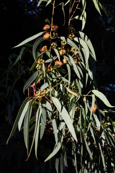 Pepper trees at Matjiesfontein
