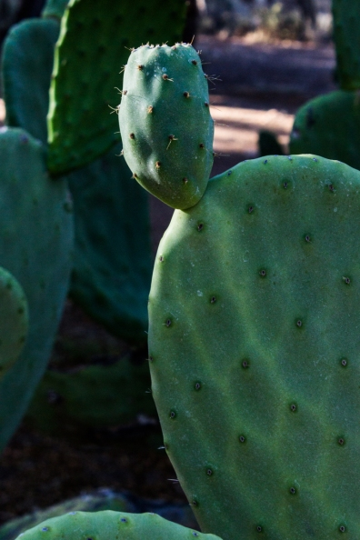 prickly pears at Matjiesfontein