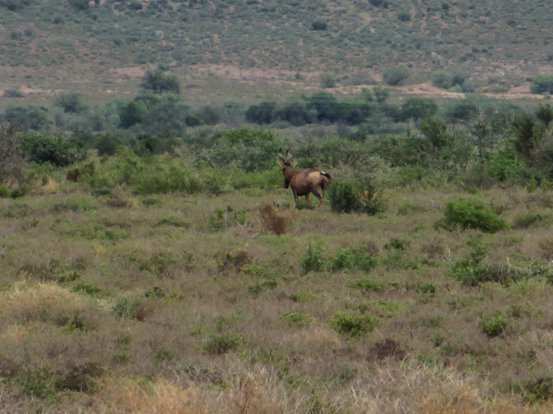 Hartebeest in Camdebo National Park