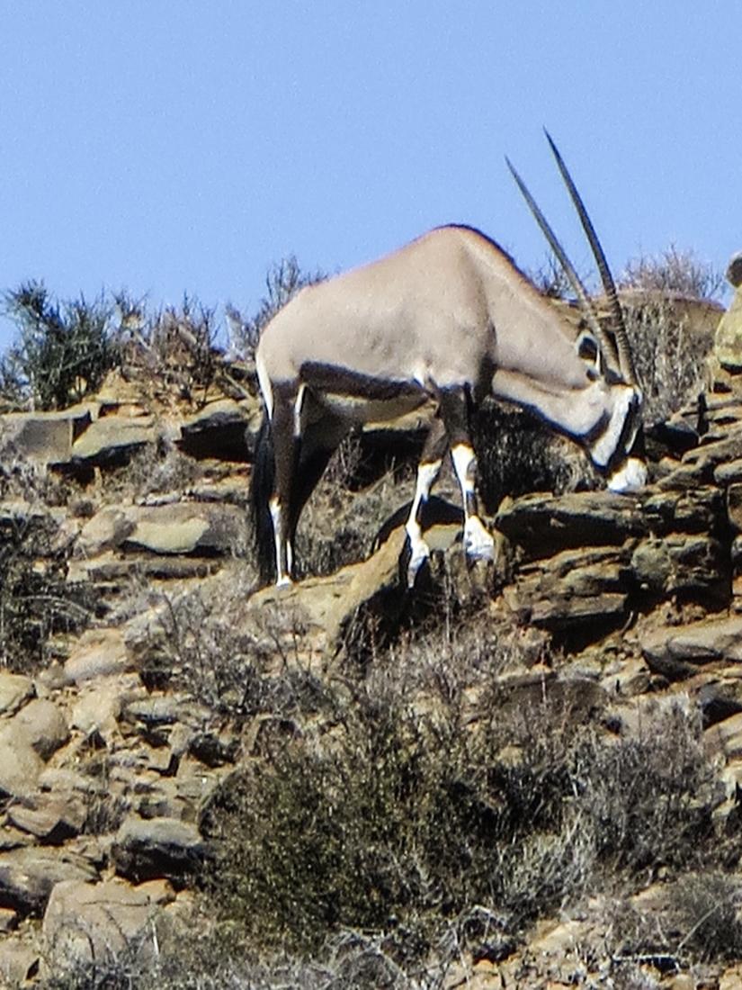 Gemsbok in the Karoo National Park
