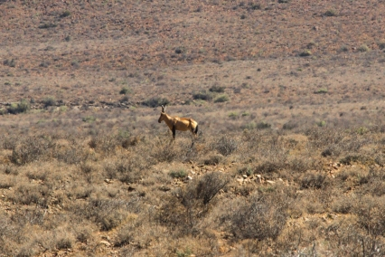 Red hartebeest in the Karoo National Park