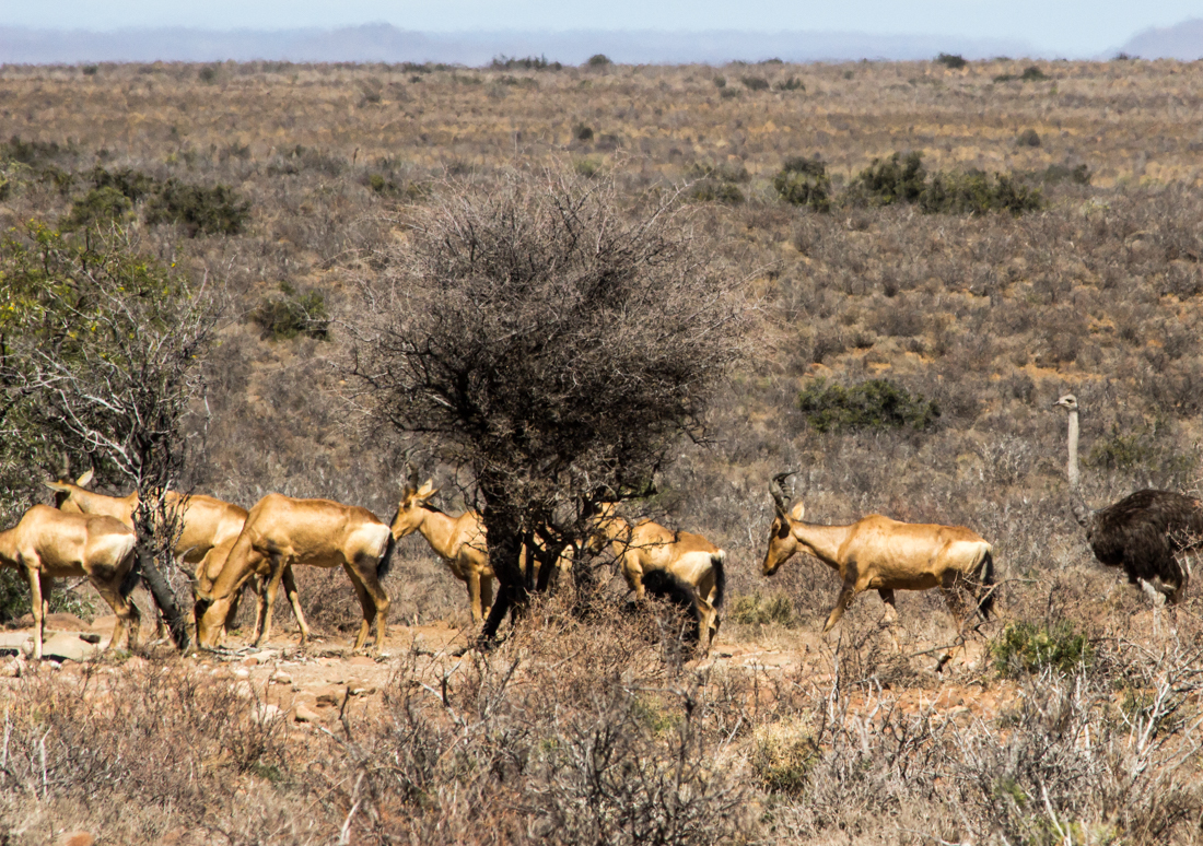 Red hartebeest & ostriches in the Karoo National Park