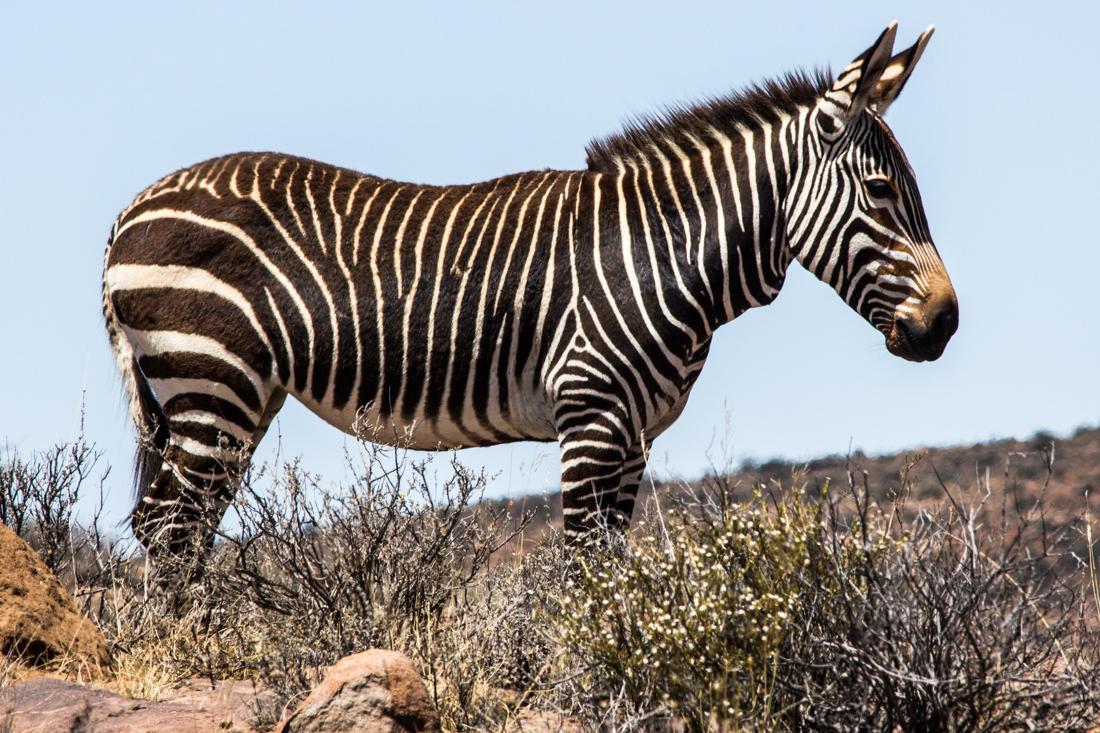 Zebra in the Karoo National Park