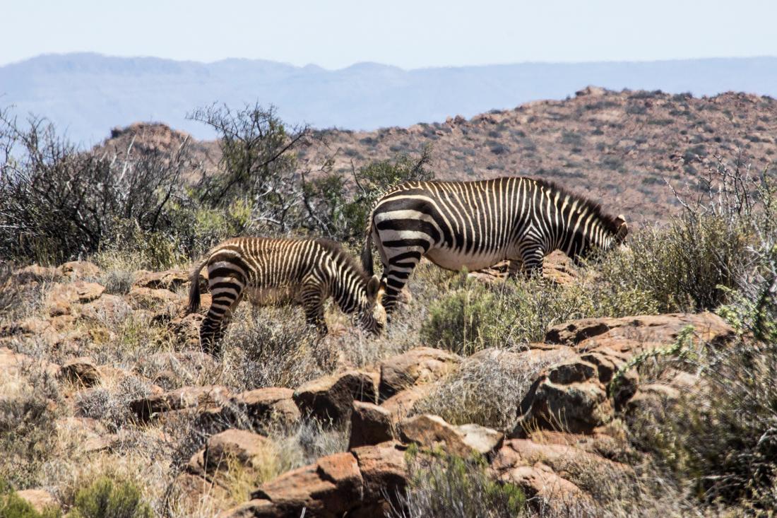 Zebra, noses down