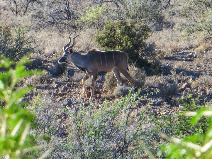 Kudu at the drinking hole, Karoo National Park