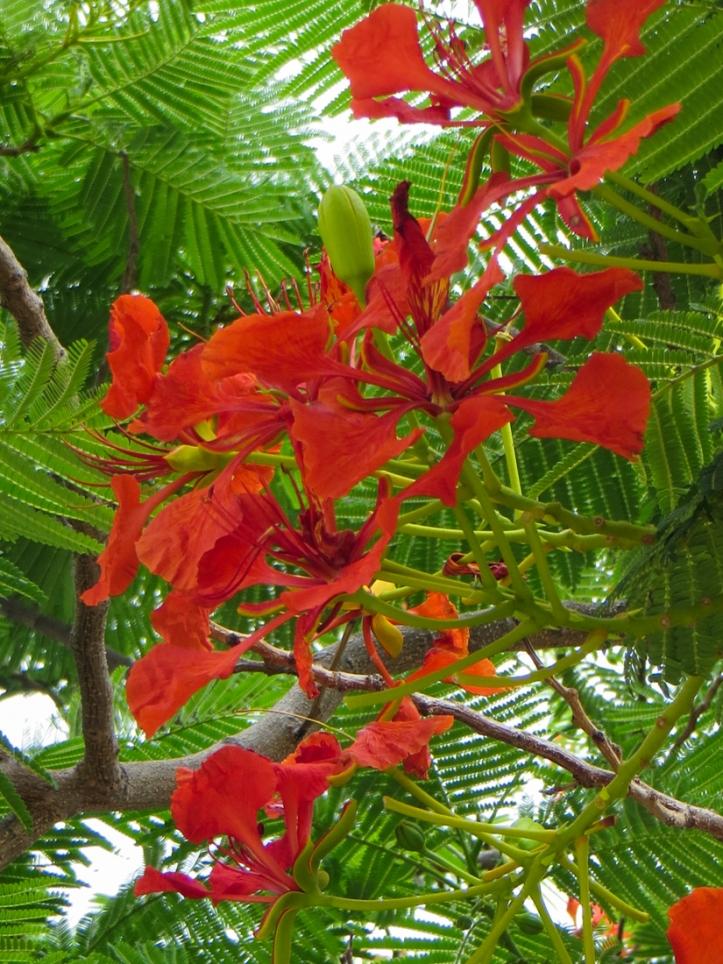 Flamboyant trees in Graaff Reinet