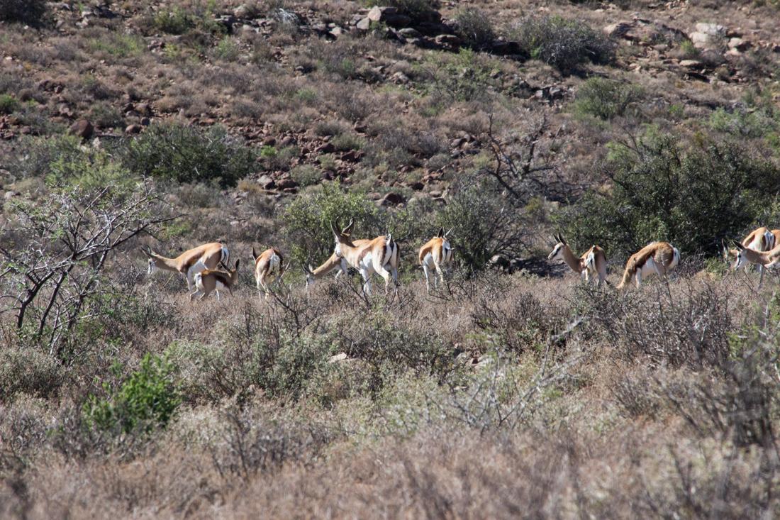 Springbuck in the Karoo National Park