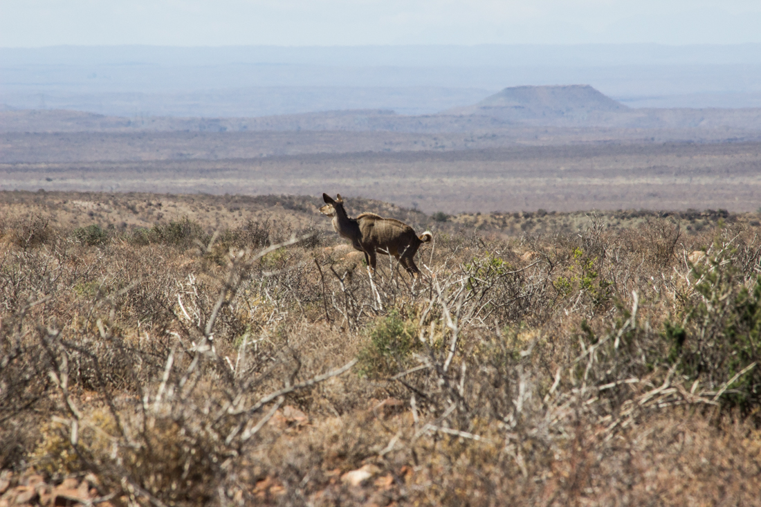 Kudu in the Karoo National Park