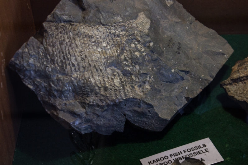 Fish fossil in the Old Library, Graaff Reinet