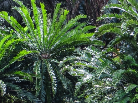 Cycads in St George's Park, PE