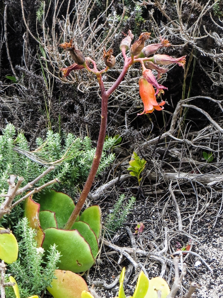 Indigenous vegetation at Schoenmakerskop