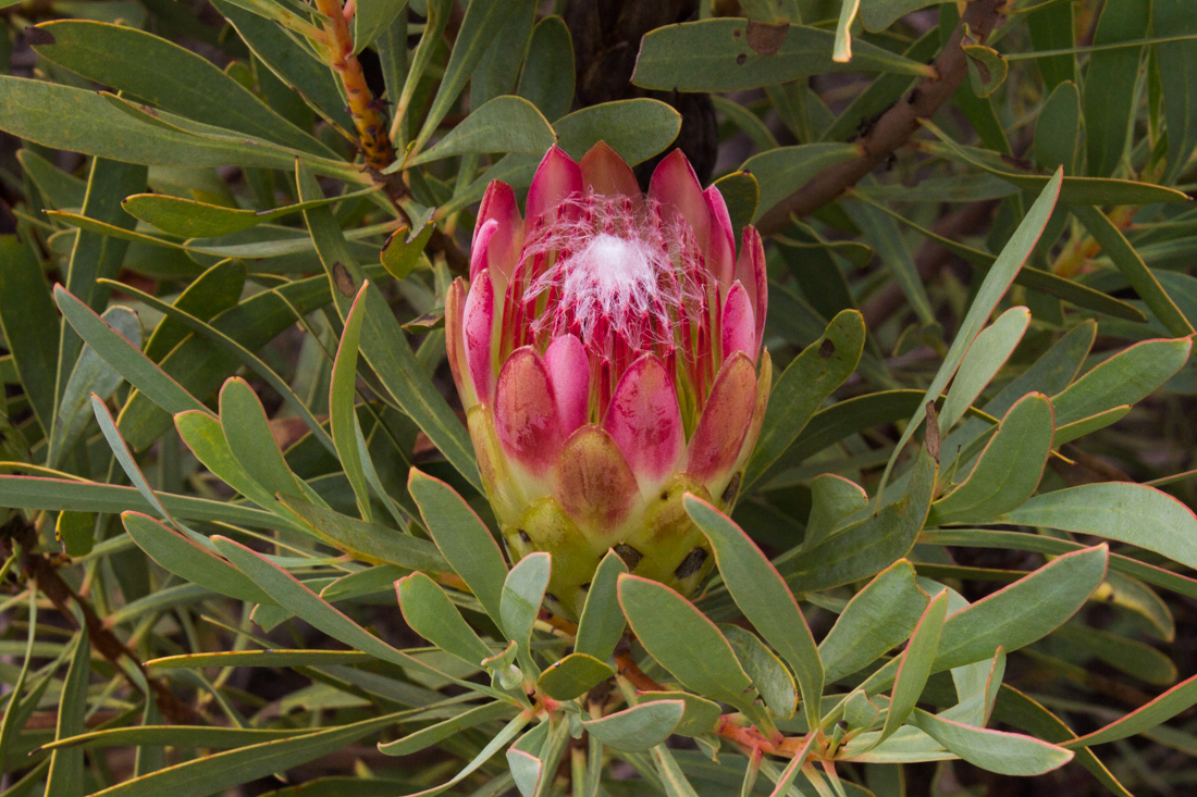 Proteas alongside the R62 in the Langkloof