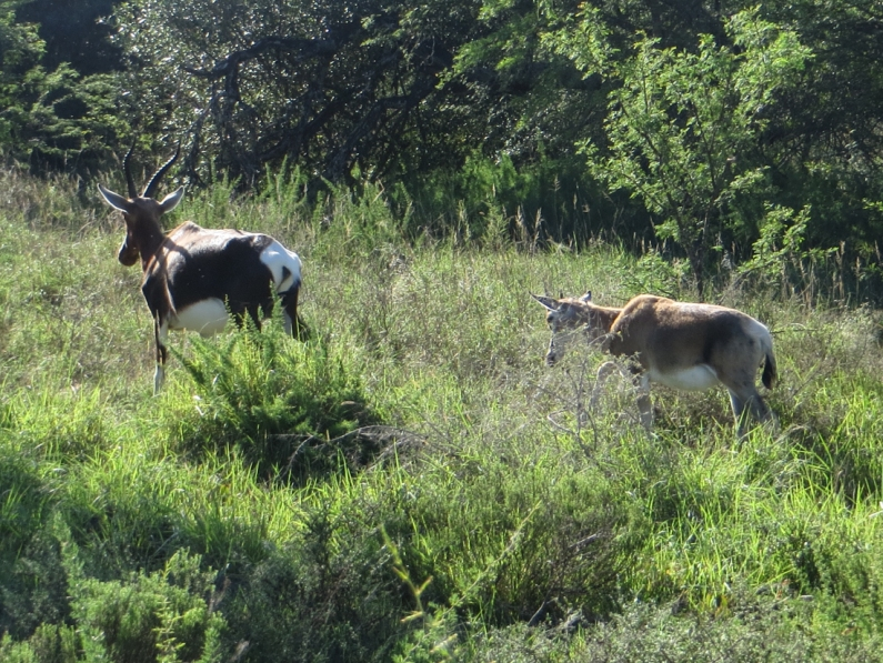 Bontebok female & calf