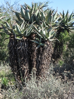 Aloes in the Bontebok National Park