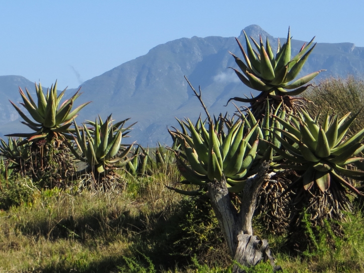 Aloes in the Bontebok National Park, with the Langeberg Mountains in the background