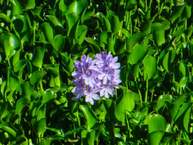 Blue water hyacinths on the Breede River