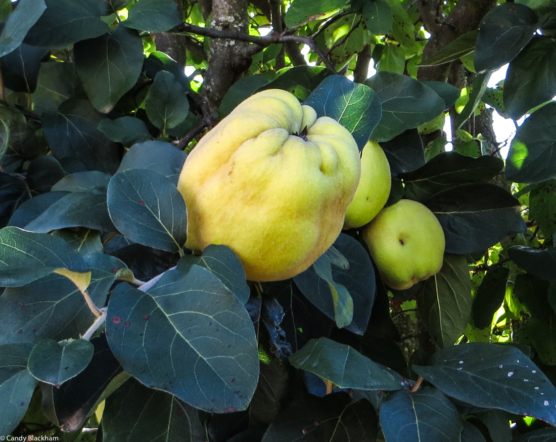 Quince in Swellendam