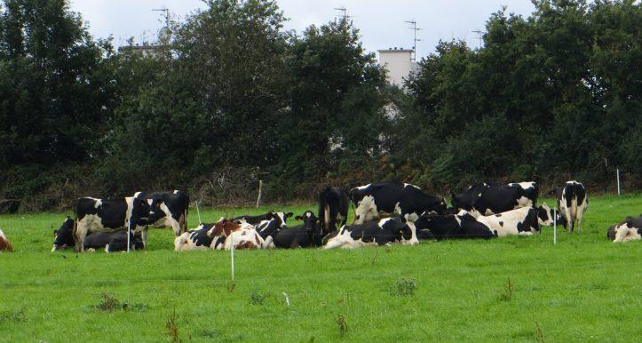 Cows outside Hanvec