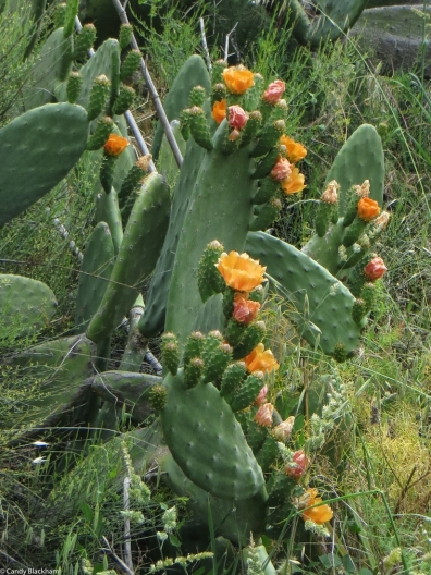 Prickly pears at Ouguela