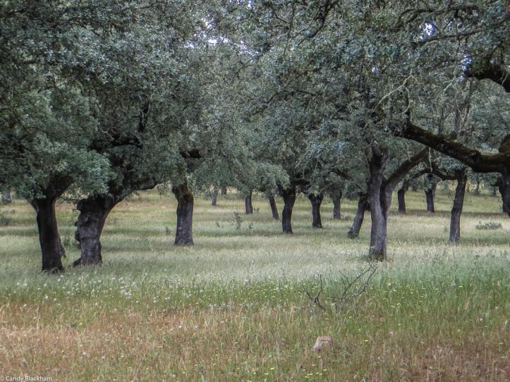 Old olive trees along the PR1 MFT