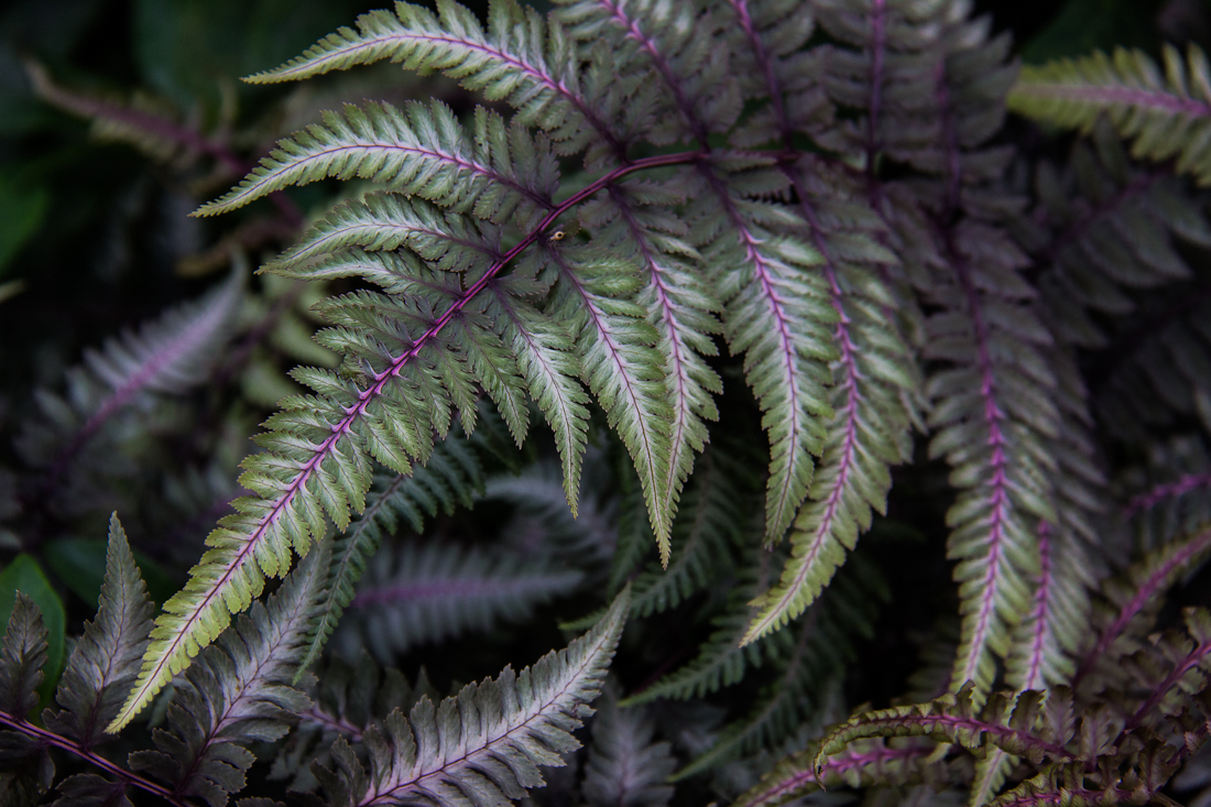 Painted Ferns