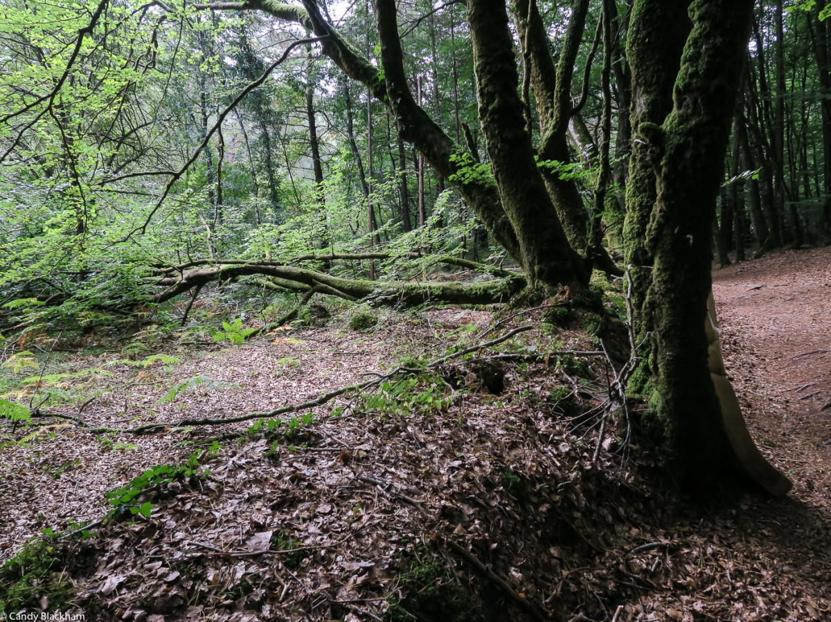 The Forest at Camors